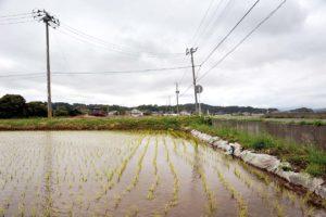 Rizieres sous ciel bas Le riz d'Iwaki est officiellement propre a la consommation