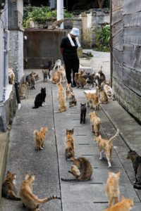 Aoshima, Ehime prefecture, September 4 2015 - Naoko KAMIMOTO is the local person in charge of the cats on the island. Aoshima (Ao island) is one of the several Ç cat islands È in Japan. Due to the decreasing of its poluation, the island now host about 6 times more cats than residents.