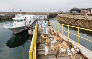Aoshima, Ehime prefecture, September 4 2015 - After the arrival of the boat in Aoshima, the boat captain brings some food for the cats. Aoshima (Ao island) is one of the several Ç cat islands È in Japan. Due to the decreasing of its poluation, the island now host about 6 times more cats than residents.