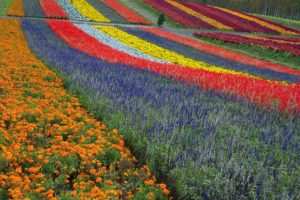 Colorfoul flower field in Biei, Hokkaido north of Japan.