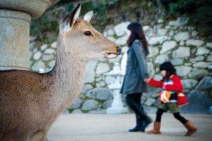 Miyajima, November 26 2011 - The dear.
