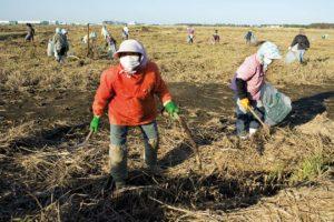 Littoral de Sendai, des paysannes nettoyent les rizieres inondees par le tsunami. Il y a quelques mois ces champs etaient recouverts de vehicules et de maisons detruites, il s'agit maintenant de retirer les petits debris. Il faudra 3 annees pour que les rizieres soient a nouveau cultivees. Le 18 octobre 2011