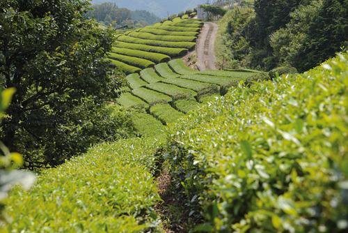 Le thé d'Uji est l'un des plus réputés du Japon. La région où il est produit bénéficie de conditions climatiques parfaites. (Elodie Hervé pour Zoom Japon)