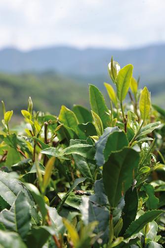 Un quart de la production de thé est exporté, notamment en Europe où il a obtenu un label. (Elodie Hervé pour Zoom Japon)